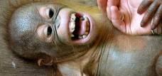 A un orangután de corta edad le hacen cosquillas. | Universidad de Portsmouth
